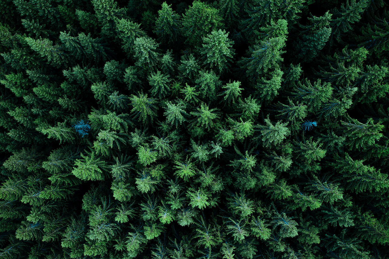 Pine tree tops seen from a drone