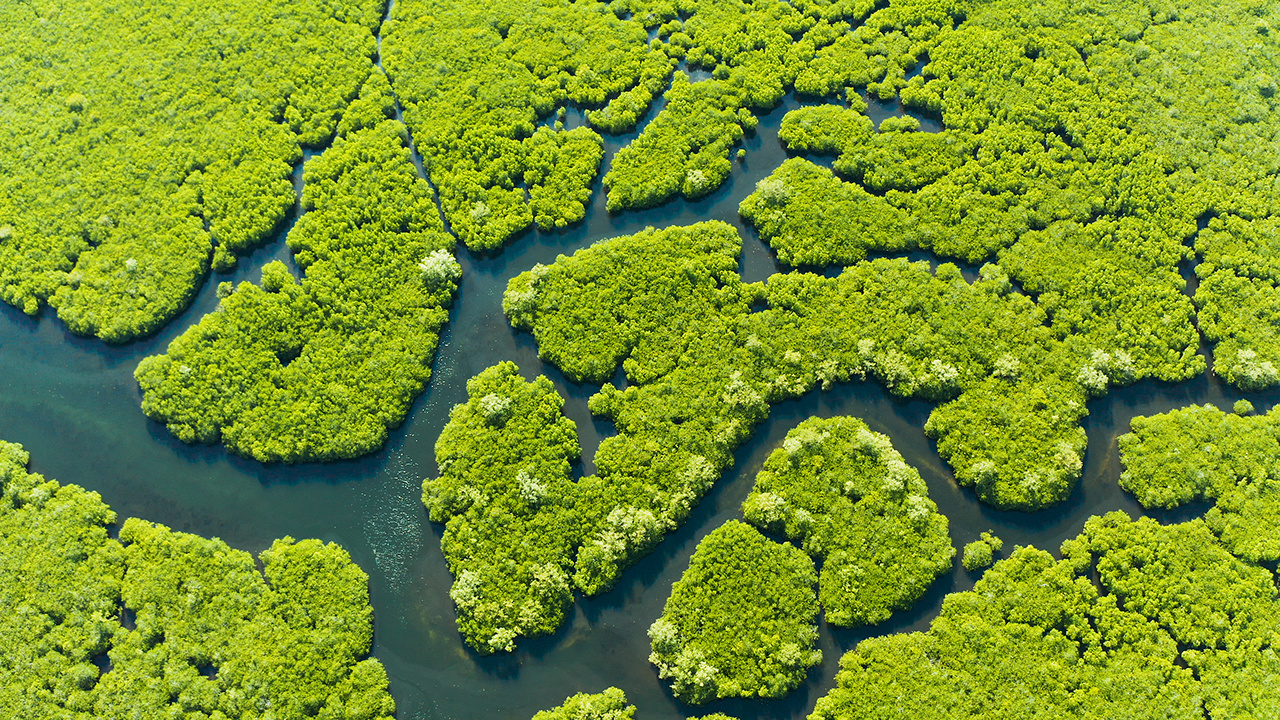 Mangrove trees in the water on a tropical island. An ecosystem in the Philippines, a mangrove forest.